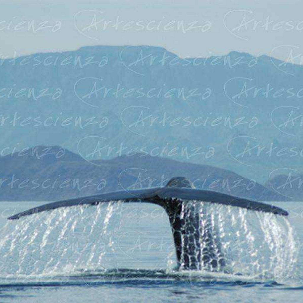 Artescienza: Fotografia scattata ad un Balenettore azzurra di oltre 25 metri