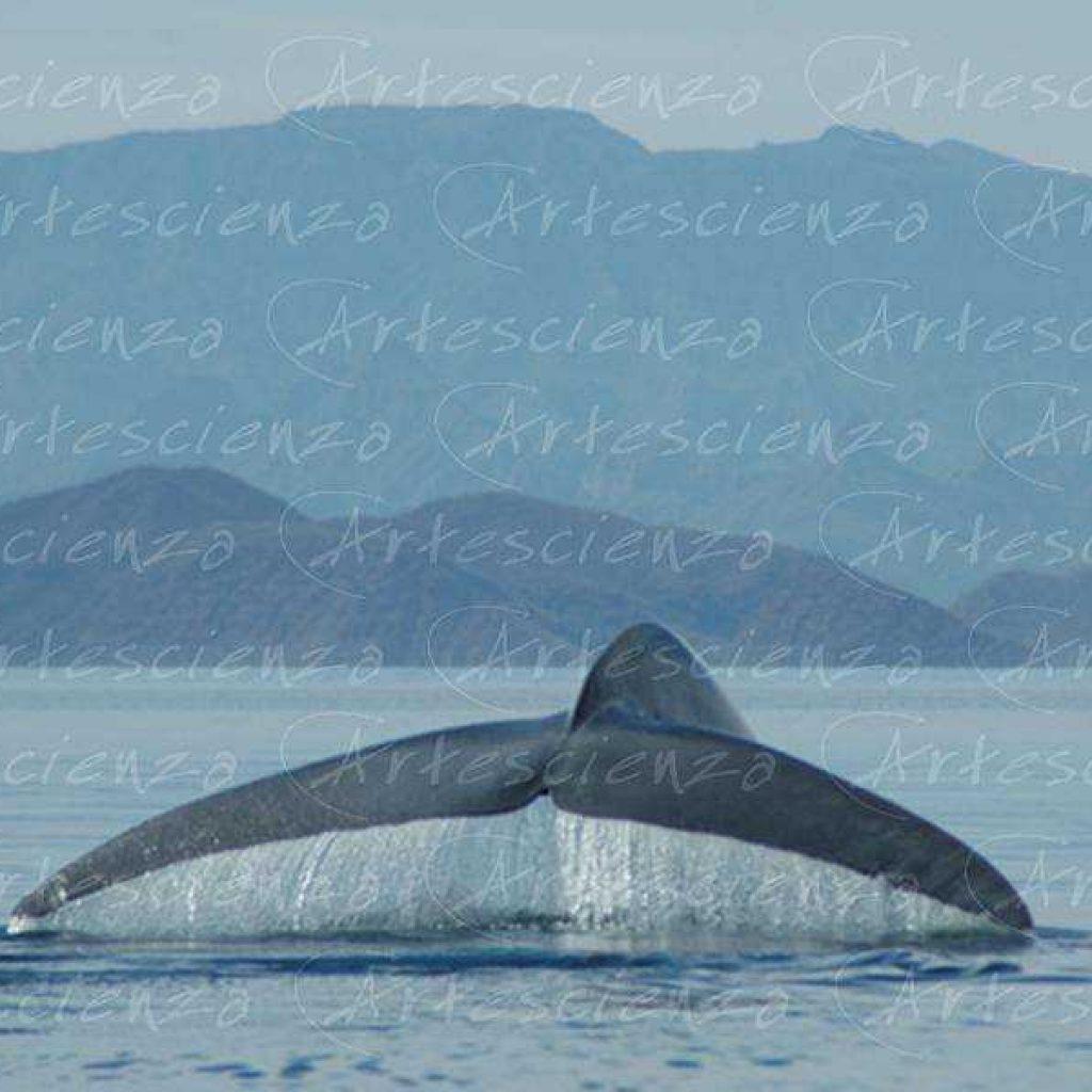 Artescienza: Fotografia scattata ad un Balenettore azzurra di oltre 25 metri  nel mare di Cortez in Messico.