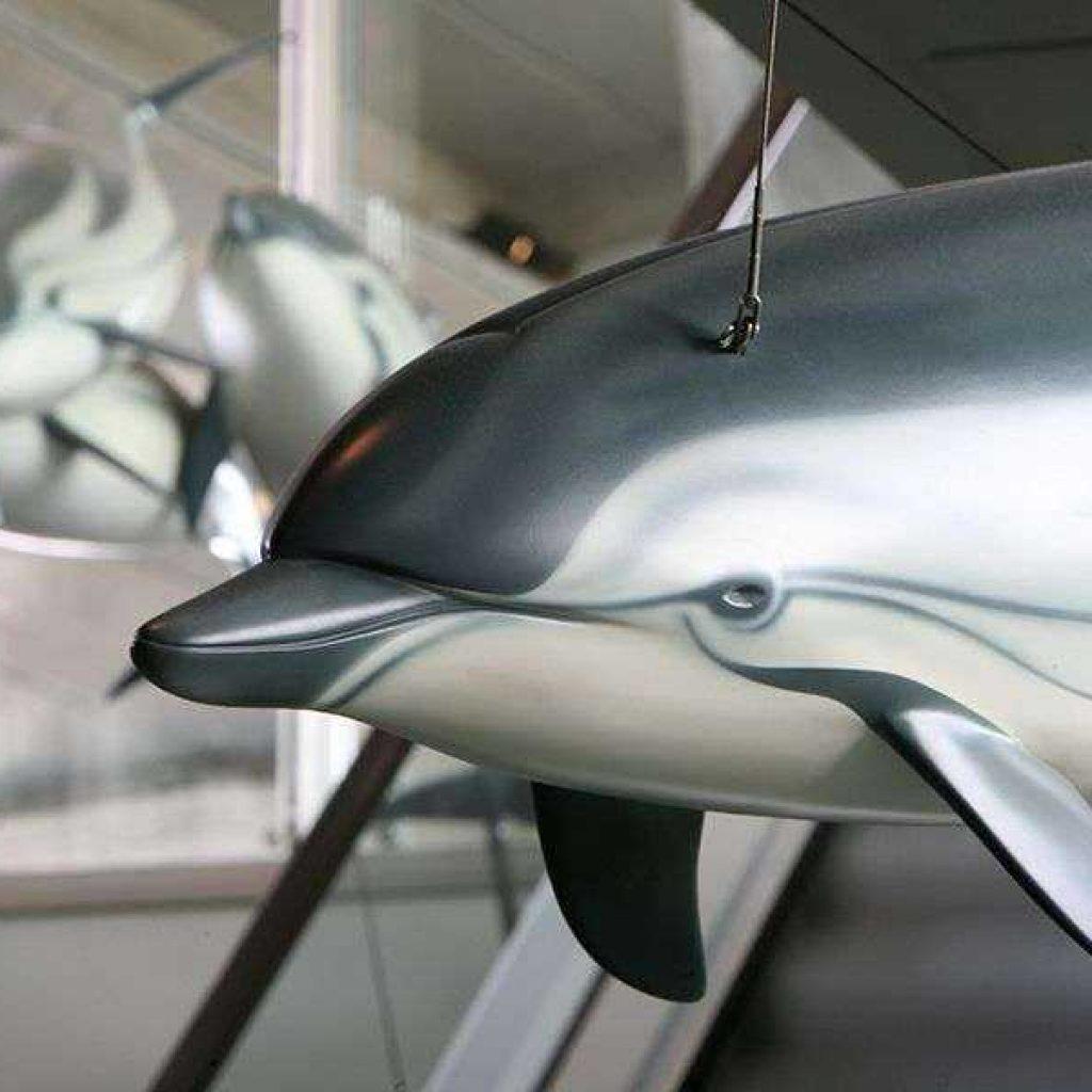 Artescienza: Il modello di Stenella striata è lungo 2 m per 15 kg di peso. Modelli di Stenella realizzati da Artescienza sono esposti al Museo di Storia naturale di Genova