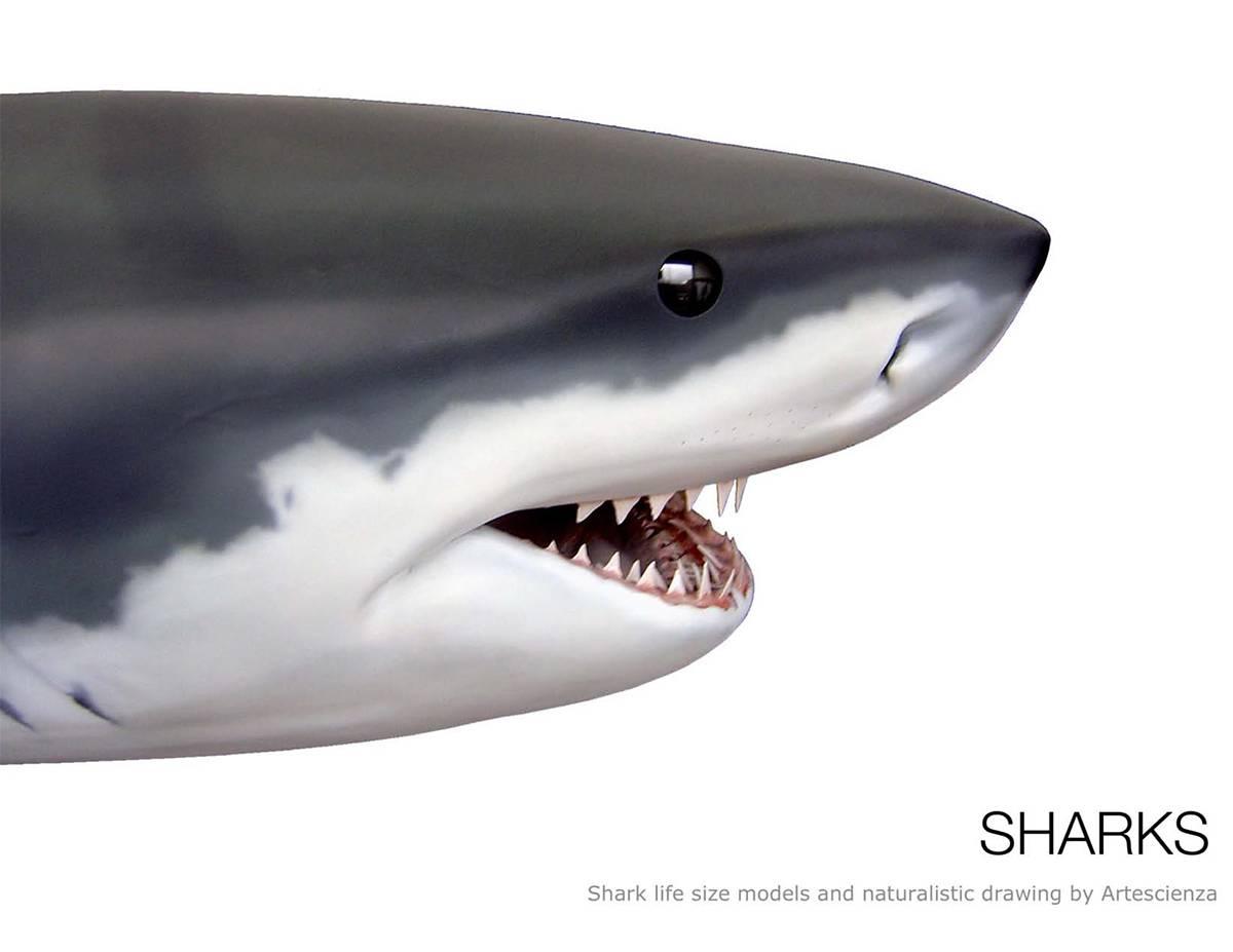 sharks-1